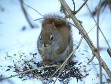 Free Red Squirrel Stock Image - 3744711