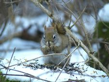 Free Red Squirrel In A Bush Stock Photo - 3744740
