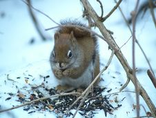 Free Squirrels Like Seeds Stock Images - 3744824