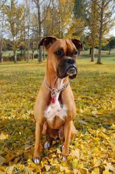 Free Boxer - Ginkgo Grove Stock Photos - 3745563