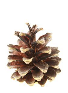 Free Pine Cone Stock Photo - 3745650