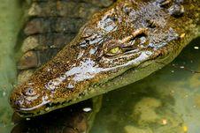 Free Crocodile Royalty Free Stock Photos - 3745788