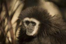 Free White Handed Gibbon Stock Photos - 3746053