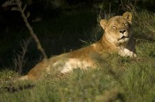 Free Lionness Asleep Stock Image - 3746061