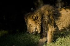 Lion Moving To Shade