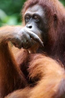 Free Orangutans Royalty Free Stock Image - 3746766