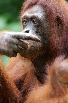 Free Orangutans Royalty Free Stock Photos - 3746768