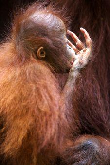 Free Orangutans Stock Image - 3746771