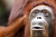 Free Orangutans Stock Photo - 3746810
