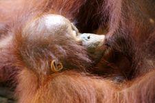 Free Orangutans Stock Images - 3746814