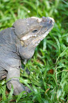 Free Horned Lizard Stock Image - 3746931