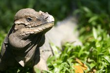 Free Horned Lizard Stock Photography - 3746942