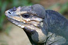Free Horned Lizard Royalty Free Stock Photos - 3746968