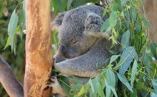 Free Koala Sleeping Stock Photos - 3747073