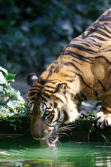 Free Malaysian Tiger Stock Images - 3747074