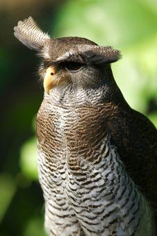 Malaysian Eagle Owl