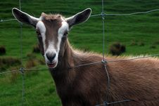 Free Goat Looking Through Fence Royalty Free Stock Photography - 3747207