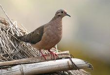 Free Eared Dove Stock Photo - 3747700