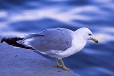 Free Seagull Stock Photos - 3747723