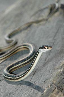Free Western Ribbon Snake Stock Image - 3747831