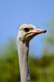 Free Ostrich Stock Photo - 3747950
