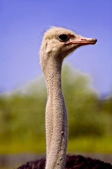 Free Ostrich Stock Image - 3747951