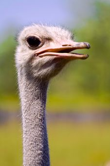 Free Ostrich Stock Images - 3747954