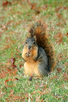 Free Squirrel Portrait Royalty Free Stock Image - 3747986