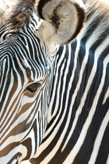 Free African Zebra Royalty Free Stock Photography - 3750677