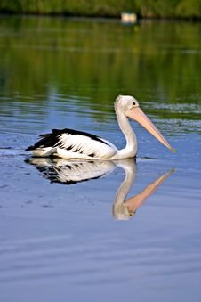 Free Pelican Stock Photo - 3751550