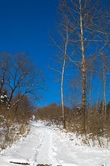Free Winter Birch Woods Royalty Free Stock Photography - 3752027