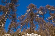 Free Winter Birch Stock Images - 3752034
