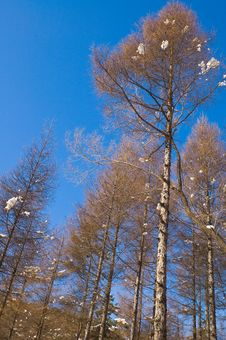 Free Winter Birch Royalty Free Stock Images - 3752039
