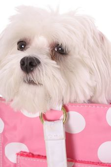 Free Pooch In Purse Upclose Royalty Free Stock Photography - 3752647