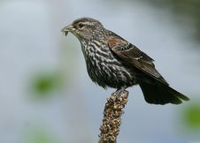 Free Red-winged Blackbird Royalty Free Stock Photos - 3753378