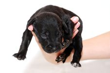 Free Black Puppy Royalty Free Stock Photo - 3753625
