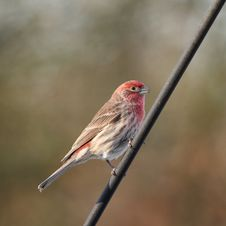 Free House Finch On Post Stock Image - 3753811