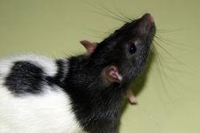 Free RAT Royalty Free Stock Image - 3754186