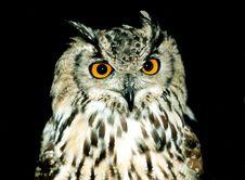 Bengal Eagle Owl, Stock Image