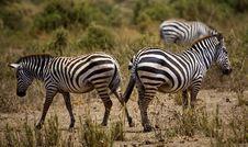 Free Zebras Royalty Free Stock Photography - 3755997