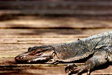 Free Lazy Lizard Royalty Free Stock Photos - 3756388