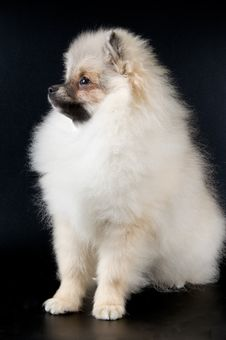Free The Puppy Of The Spitz-dog Stock Photography - 3756912