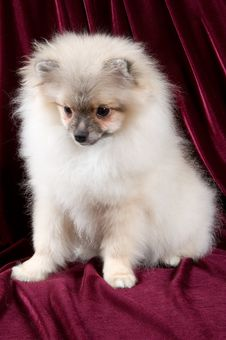 Free The Puppy Of The Spitz-dog Stock Images - 3756924