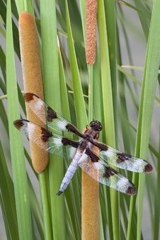 Free Dragonfly On Cattails Royalty Free Stock Image - 3757526