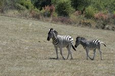 Zebras On The Move Royalty Free Stock Photo