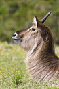 Free Young Waterbuck Ram Royalty Free Stock Image - 3762636