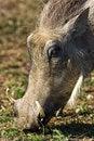 Free Warthog Grazing Royalty Free Stock Image - 3762746
