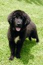 Free Newfoundland Puppy Royalty Free Stock Photography - 3763977
