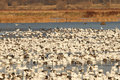 Free Flock Of Snow Geese Royalty Free Stock Photography - 3766797