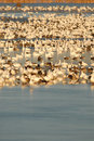 Free Snow Goose Refuge Stock Image - 3766801